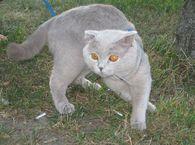 Вязка котов !!! Котик ищет кошечку для вязки в Киеве!!! фото