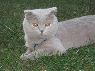 Фото: Скоттиш фолд (шотландская вислоухая) : Вязка котов !!! Котик ищет кошечку для вязки в Киеве!!!